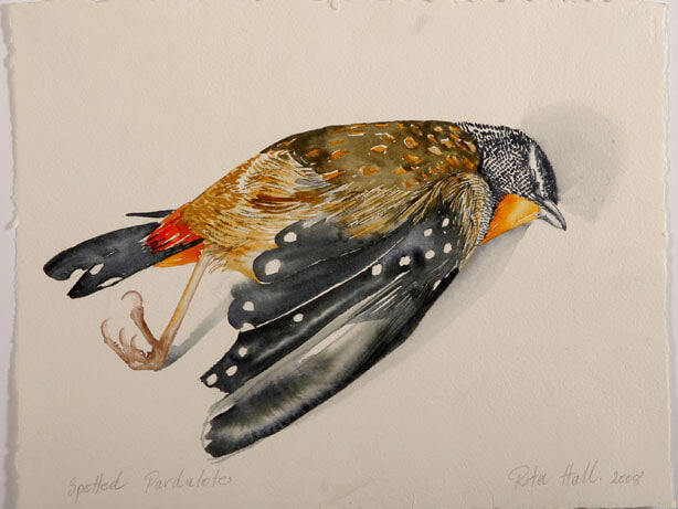 Spotted Pardalote I 2007 watercolour 39 x 52cm