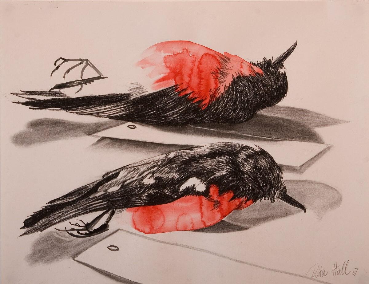 Two Robins 2007 charcoal & watercolour 60x76cm