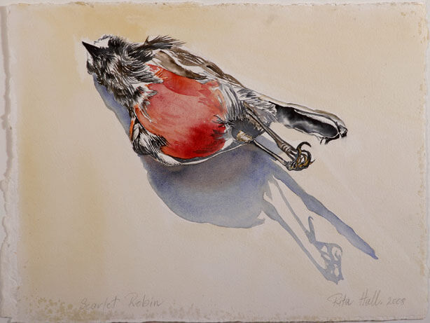 Scarlet Robin II 2008 watercolour 39x52cm