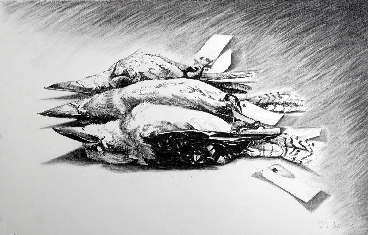 Three Kookaburras 2007 conté & charcoal 66x102cm