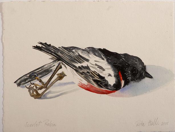 Scarlet Robin I 2007 watercolour 39 x 52cm