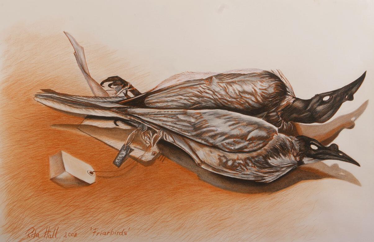 Friar Birds 2008  charcoal & conté 66 x101cm
