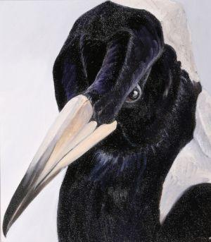 Australian Magpie 1