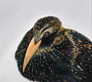 15. Common Starling - SOLD