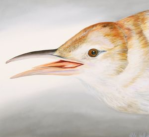 28. Clamerous Reed Warbler - SOLD