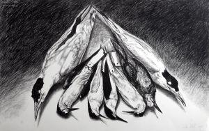 Terns 2007 charcoal 66x101cm